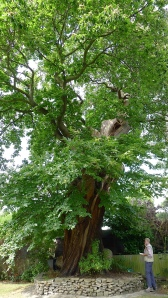 An ancient sweet chestnut tree in Blendon Drive